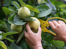 Pick an apple. The harvest of quince with scissors yellow Royalty Free Stock Photos