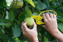 Pick an apple. The harvest of quince with scissors yellow Royalty Free Stock Image