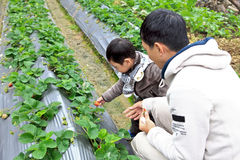 Pick berries of strawberry. Farther with son on the field pick berries of strawberry.Dahu,Taiwan royalty free stock images