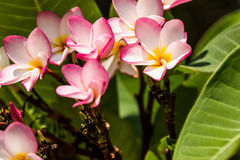 Pick champa. Flower on the Stock Images