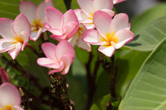 Pick champa. Flower Stock Photography