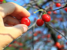 Pick Cherry. On tree at a orchard Royalty Free Stock Photography