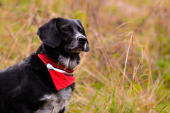 Pick the dog. Pick the black and grey dog with a red scarf Royalty Free Stock Image