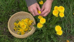 Pick fresh spring dandelion flower  for healthy food stock video footage