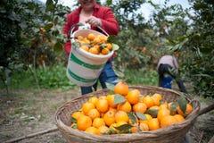 Pick fruit farmers Stock Photo