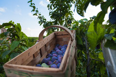 Pick plums in a basket under blue sky Stock Images