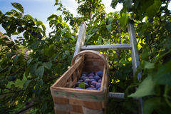 Pick plums from the tree Royalty Free Stock Images