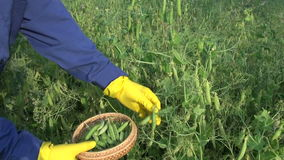 Pick ripe green pea pod on field stock video footage