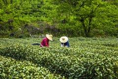 Pick tea Stock Photo