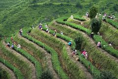 Pick tea. During the National Day,Chinese peasants are picking tea—Tie Guanyin, a variety of oolong tea,in anxi,fujian,china stock photo