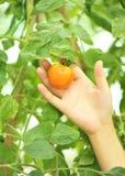 Pick tomato  Royalty Free Stock Photography