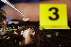 Pick up of fly larva on crime scene Stock Images