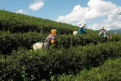 Pick up fresh green tea leaves Stock Image