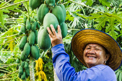 Pick up papaya Stock Photography