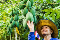 Pick up papaya Stock Photos