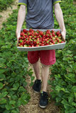 Pick your own strawberries Stock Image