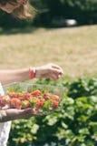 Pick your own strawberry farm Stock Photos