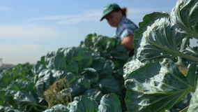 Picked brussel sprouts stock video