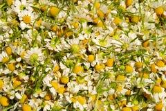 Picked chamomile Stock Photos