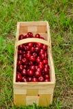 Picked cherries sweet cherries Stock Photos