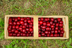 Picked cherries sweet cherries Stock Images