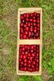 Picked cherries sweet cherries Royalty Free Stock Photo