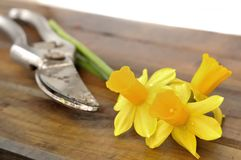 Picked daffodils Royalty Free Stock Photos