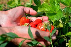 Picked delicious strawberries Royalty Free Stock Photography