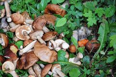 Picked edible forest mushrooms on the grass. Picked edible forest mushrooms. A lot of mushrooms on the green grass. Many mushrooms collected in the forest Stock Photo