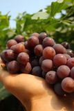 Picked grape Royalty Free Stock Photography
