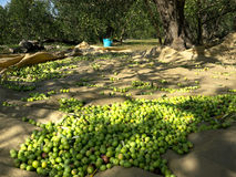 Picked green olives on ground at plantation Royalty Free Stock Image