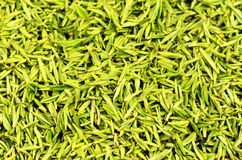 Picked green tea leaves Royalty Free Stock Photo