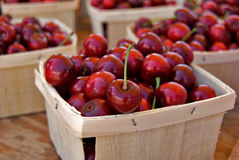Picked  Michigan Cherries Stock Image