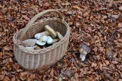Picked mushrooms in the basket Royalty Free Stock Image