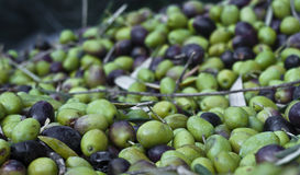 Picked olives and leaves. Freshly picked olives and leaves Royalty Free Stock Image