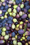 Picked olives and leaves. Freshly picked olives and leaves Royalty Free Stock Photography