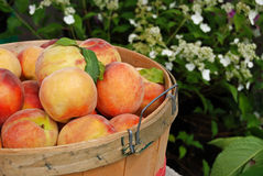 Picked Peaches Stock Photography