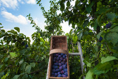 Picked plums in a basket Stock Image