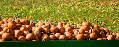Picked pumpkins on a trailer Stock Photography