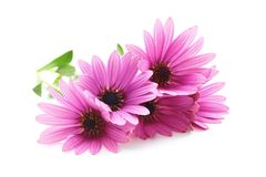 Picked purple daisy flowers Stock Photography