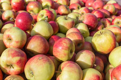 Picked ripe apples Stock Image
