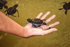 Picked Sea Turtle Royalty Free Stock Photos
