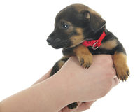 Picked Up Puppy Stock Photo