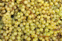 Picked wine grapes Royalty Free Stock Photography
