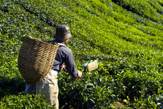 Picker Harvesting Tea Leaves Concept Stock Image