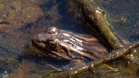 Pickerel żaba chuje pod gałąź obraz stock