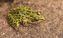 Pickerel Frog Stock Photography