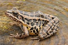Pickerel Frog Lithobates Rana palustris Stock Image