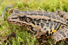 Pickerel Frog Lithobates Rana palustris Royalty Free Stock Images