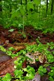 Pickerel Frog (Rana palustris) Stock Photos